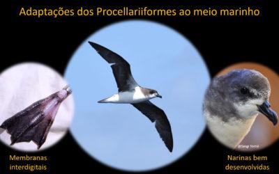 Aves marinhas da ordem Procellariiformes – um estilo de vida curioso – Parte 2: no mar